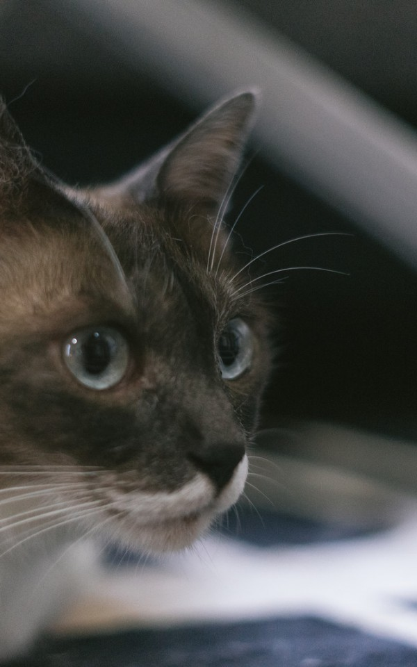愛猫を飼えなくなった飼い主がするべきこと【飼育放棄はダメ、里親を探す】