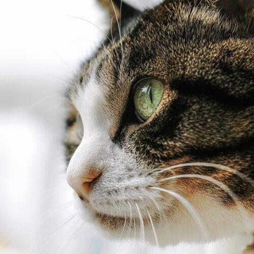 猫伝染性腹膜炎 FIPの高額治療費をクラウドファンディングで支援してもらう方法とは?