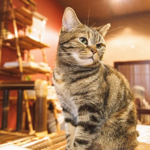 保護猫カフェとは?【気軽に行ける保護猫のオープンシェルターのこと】
