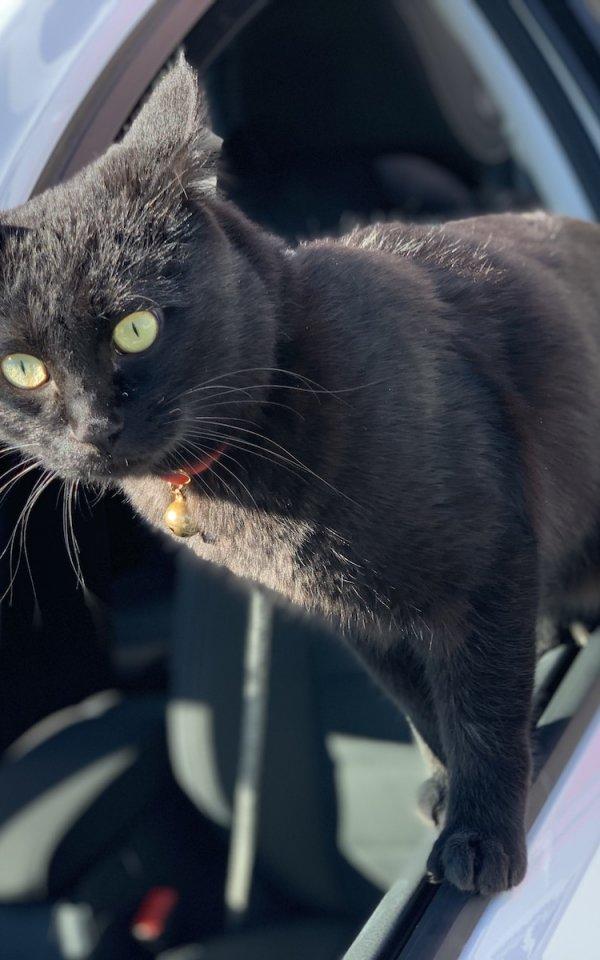 まるで犬!? 殺処分寸前だった子猫はドライブ大好きな幸せにゃんこに【猫の里親体験談/群馬】