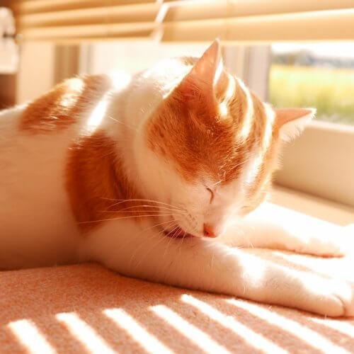 猫の過剰グルーミングの原因と対策と皮膚保護服の使い方【梅雨の時期は要注意】