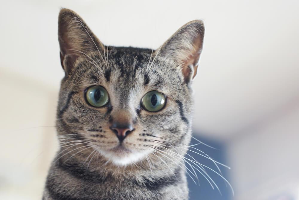 猫の過剰グルーミングの原因