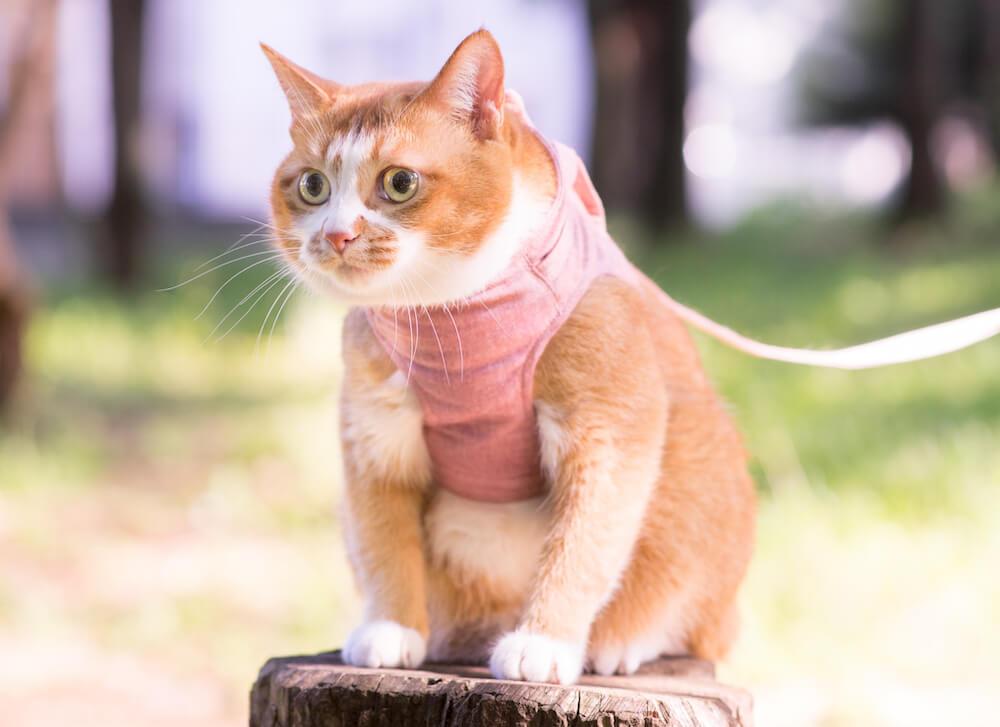 猫に散歩は必要ない