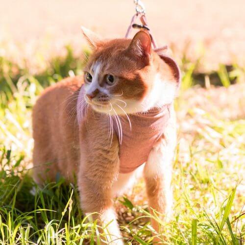 猫に散歩は必要なのか?【メリットもあるけど必要ないです】